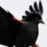 Profile picture of Blackbird